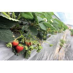 冬草莓哪里买,荣昌冬草莓,楠之林雪生态农业园(查看)图片