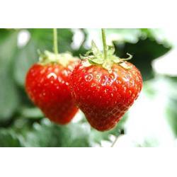万州冬草莓采摘,楠之林雪,有机冬草莓采摘图片