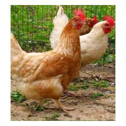 农大3号蛋鸡养殖基地、农大3号、莘县蛋多多图片