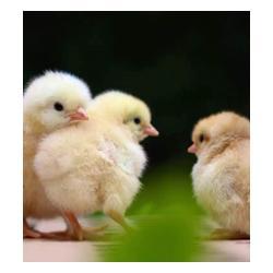 种鸡饲养基地,菏泽种鸡饲养,蛋多多畜禽图片