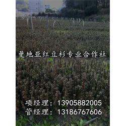 红豆杉_曼地亚红豆杉小苗_青田红豆杉(优质商家)图片