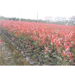 10公分红叶石楠树、红叶石楠树、百信红叶石楠图片