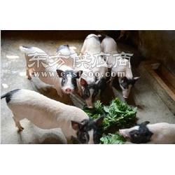 巴马香猪养殖成本/紫东香猪sell/养殖巴马香猪图片