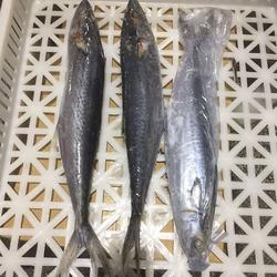 鲅魚、日照鲅魚出口廠家、水產圖片