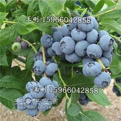 优质蓝莓果苗 蓝丰 早蓝 奥尼尔蓝莓苗种植 挂果多 产量好图片