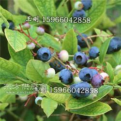 基地供应优质蓝莓苗 产量高 挂果多 适合南北方种植图片
