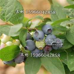 藍莓苗 南北方都可以種植果樹苗 優質組培藍莓苗 抗蟲害圖片