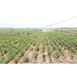 石河子樱桃苗,泰肥农场(在线咨询),早大果樱桃苗种植图片