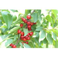 泰肥农场种植有道(图)|红灯樱桃树基地|安顺樱桃树图片
