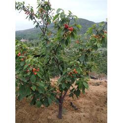 樱桃树-泰肥农场售前指导-极佳樱桃树图片