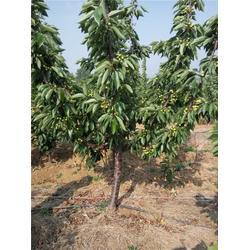 泰肥农场技术支持、樱桃树、黑珍珠樱桃树报价图片
