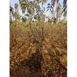 泰肥农场樱桃苗基地,樱桃苗,先锋樱桃苗行情图片