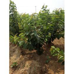 櫻桃樹-泰肥農場種植有道-岱紅櫻桃樹哪家好圖片