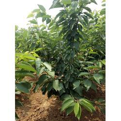 樱桃树|泰肥农场成活率高|南方可以种樱桃树吗图片