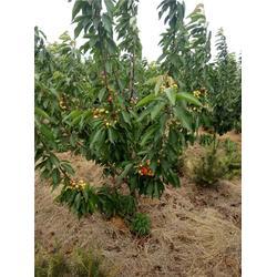 泰肥农场(图)、桑缇娜樱桃树、樱桃树图片