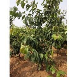 樱桃树,泰肥农场管理有方法,先锋樱桃树图片