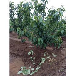 樱桃树|泰肥农场|桑缇娜樱桃树图片