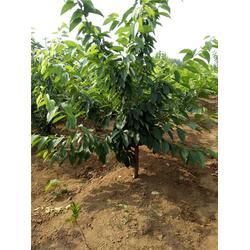 樱桃树-樱桃树-泰肥农场成活率高(多图)图片