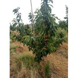 4公分早大果樱桃树、樱桃树、泰肥农场现挖现卖图片