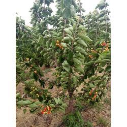 泰肥农场樱桃苗基地,樱桃树,早大果樱桃树图片