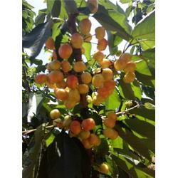 泰肥农场诚信经营(图)_哪里有卖樱桃树_樱桃树图片