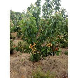 南方可以种樱桃树吗,福州樱桃树,泰肥农场(图)图片