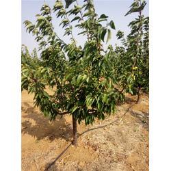 泰肥农场管理有方法|樱桃树|5公分车厘子樱桃树图片