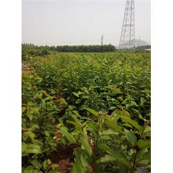 泰肥农场技术支持,樱桃树,冰糖樱樱桃树图片