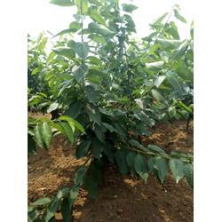 樱桃树 泰肥农场 樱桃树几年结果图片