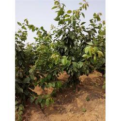 黑珍珠樱桃树哪家好,樱桃树,泰肥农场技术支持(查看)图片
