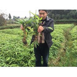 楠木出售|祥荣苗圃(在线咨询)|楠木图片
