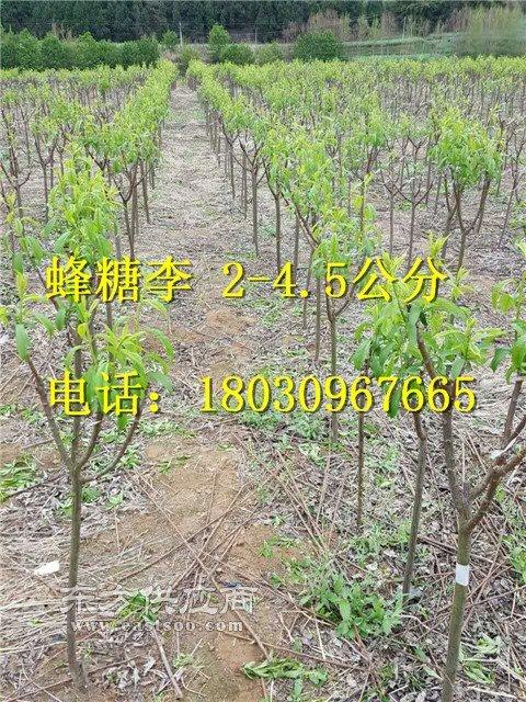 李子苗品种,李子苗的培育图片