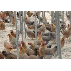 湘粤农业(图)|清远鸡|阜新清远鸡图片
