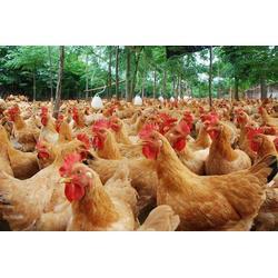 清远鸡、白山清远鸡、湘粤农业(查看)图片