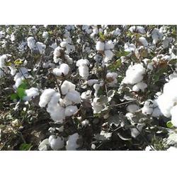 高产棉花种子,防城港高产棉花种子,济南朝晖图片