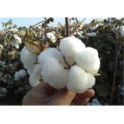 库尔勒高产棉花种子,济南朝晖,哪里有卖高产棉花种子的图片