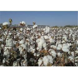 乌兰察布高产棉花种子|济南朝晖种业|高产棉花种子哪里有卖的图片