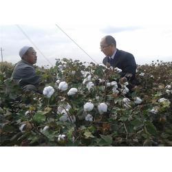 南宁高产棉花种子,济南朝晖种业公司,高产棉花种子供应商图片