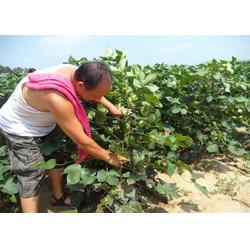 高产棉花种子生产-唐山高产棉花种子-济南朝晖(查看)图片