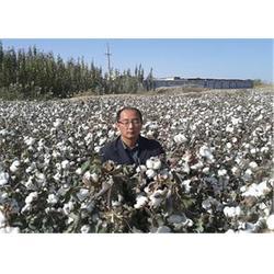 潍坊高产棉花种子|济南朝晖公司 |哪里有卖高产棉花种子的图片