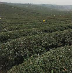 怀孕能喝绿茶吗_河北绿茶_公覆茶厂家图片