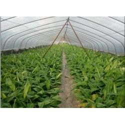 直销红香蕉苗|佳兆树木(在线咨询)|海南红香蕉苗图片