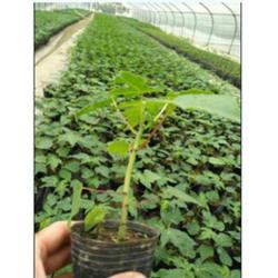 低价木瓜苗,佳兆树木,云浮木瓜苗图片
