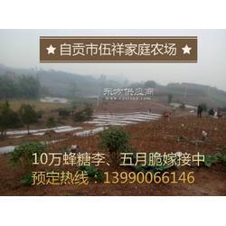 大量蜂糖李苗、五月脆苗预售中图片