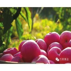 王顯超輝果業,紅富士蘋果報價,紅富士蘋果圖片