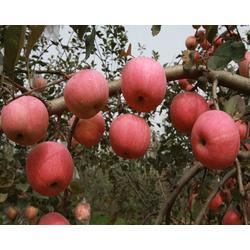 线上水果商城-忻州水果-王显超辉果业(查看)图片