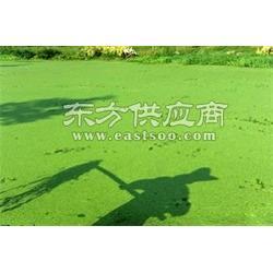 护城河里的水绵/兴远渔具供/公园里的浮萍图片