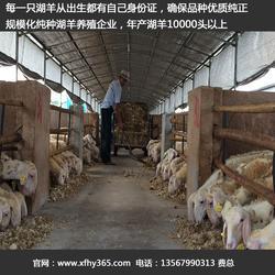 扬州湖羊养殖-辉煌牧业-湖羊养殖前景图片