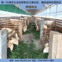 湖羊养殖基地-扬州湖羊养殖-辉煌牧业图片