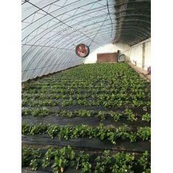 大棚草莓滴灌管滴管带厂家爱直销图片